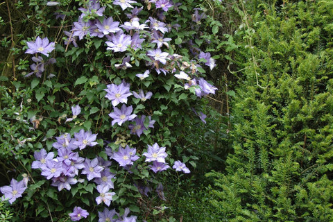 Clematites in the Chateau de La Ballue's gardens